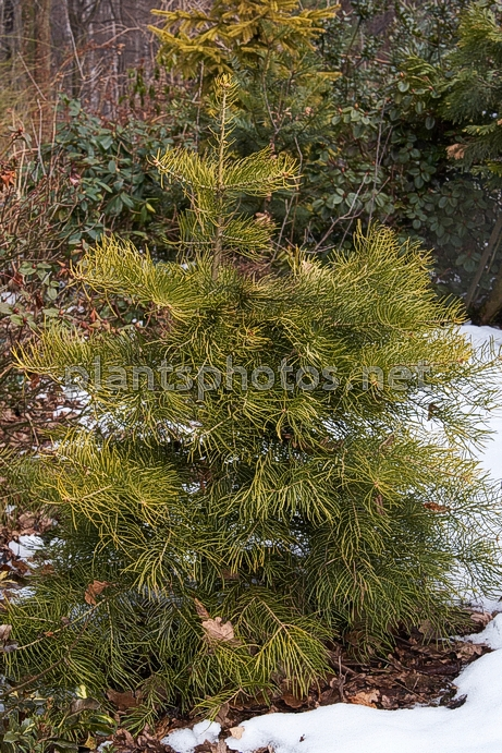 Abies concolor Winter Gold IMG_4817 &polska