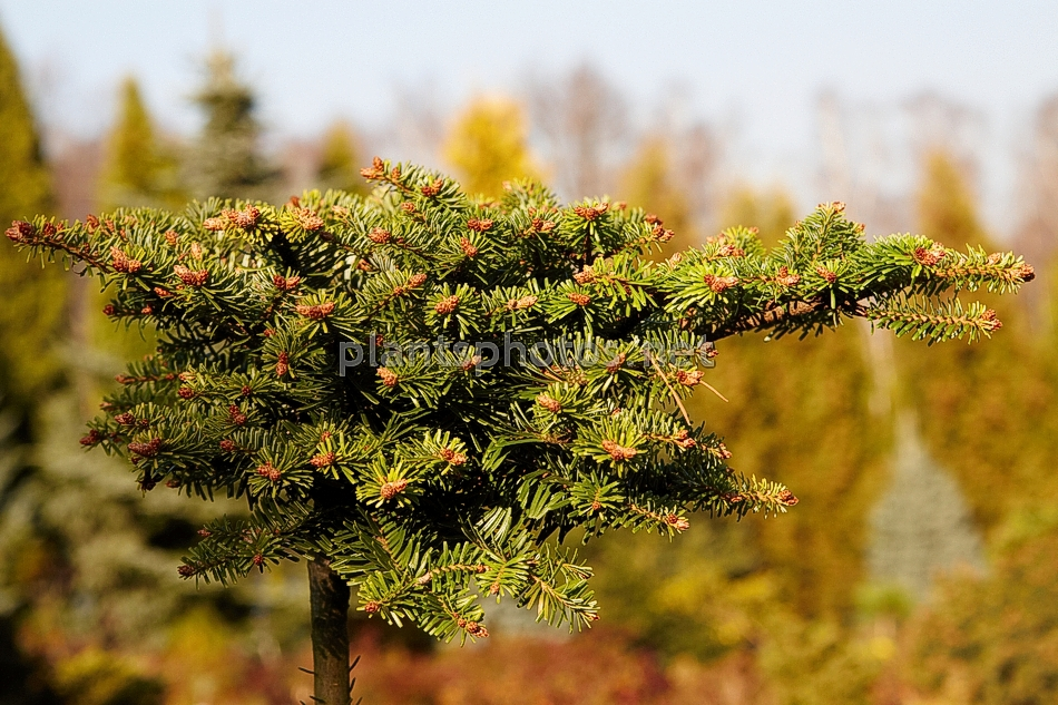 Abies koreana Lee Feber IMG_1950 &polska