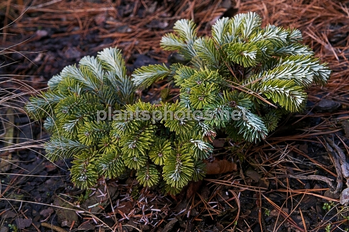 Abies veitchii Rumburk HB IMG_8359 &polska