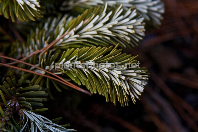Abies veitchii Rumburk HB IMG_8360 &polska