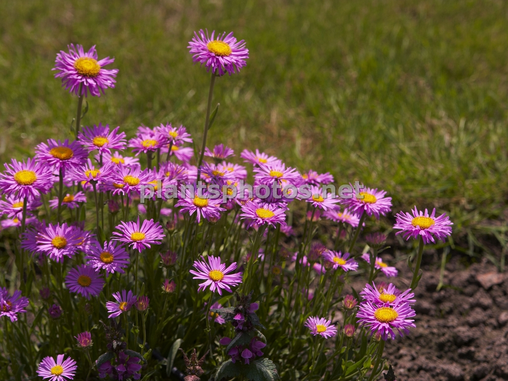 Aster alpinus Happy End &polska