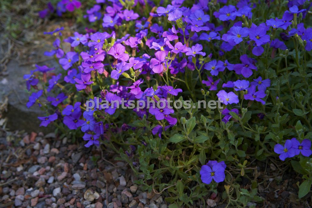Aubrieta Greencurt Purple-1, Żagwin,