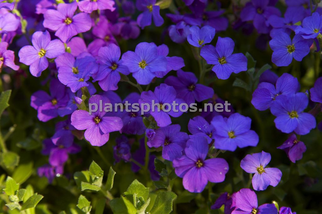 Aubrieta Greencurt Purple-2, Żagwin,