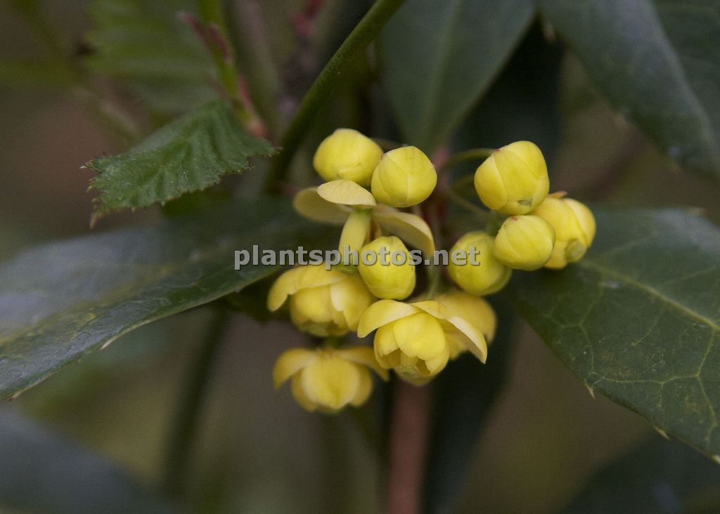 Berberis julianae-3, Berberys juliany,