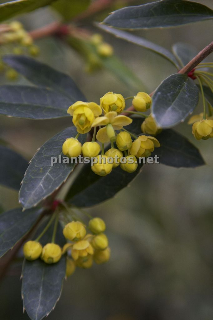 Berberis julianae-4, Berberys juliany,