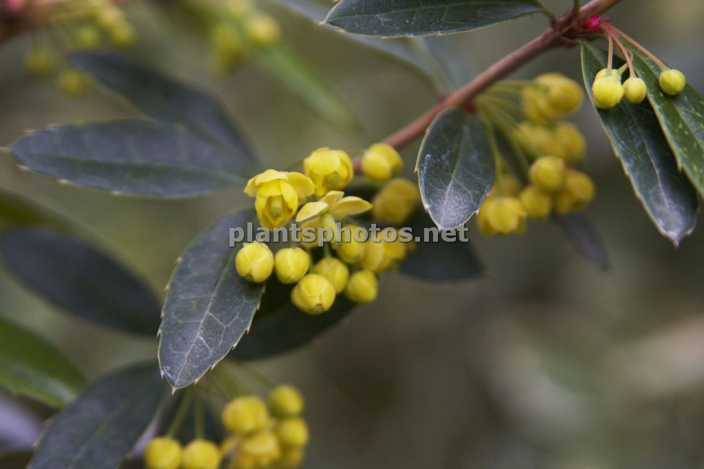 Berberis julianae, Berberys juliany,