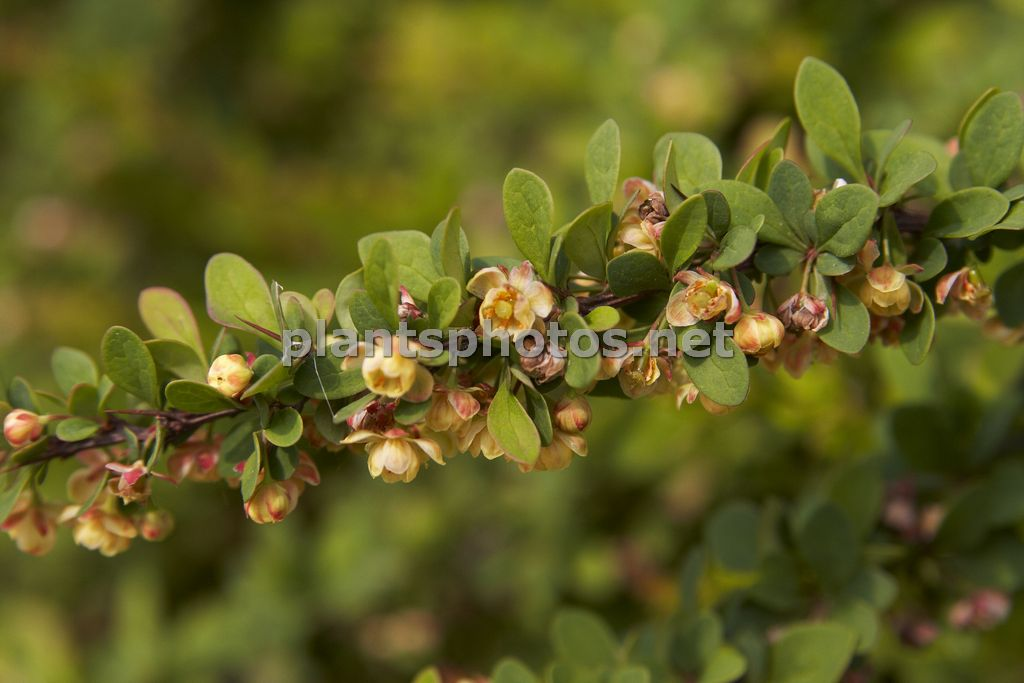 Berberis thunbergii Green Carpet-1, Berberys Thunberga,