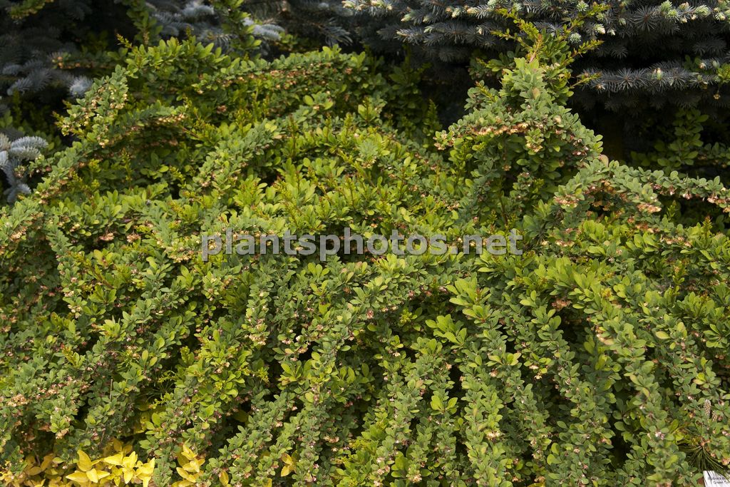 Berberis thunbergii Green Carpet, Berberys Thunberga,