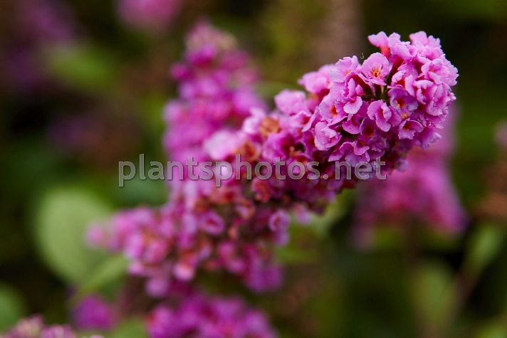 Buddleya x Blue Chip IMG_0997, Budleja, **