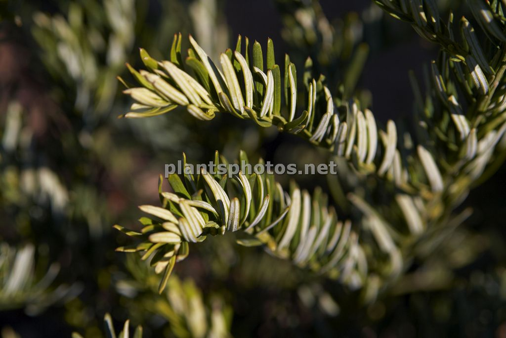 Cephalotaxus harringtonia Koreana, Głowocis,