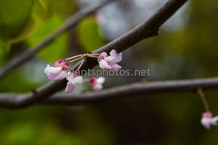 Cercis occidentalis IMG_2347 &polska