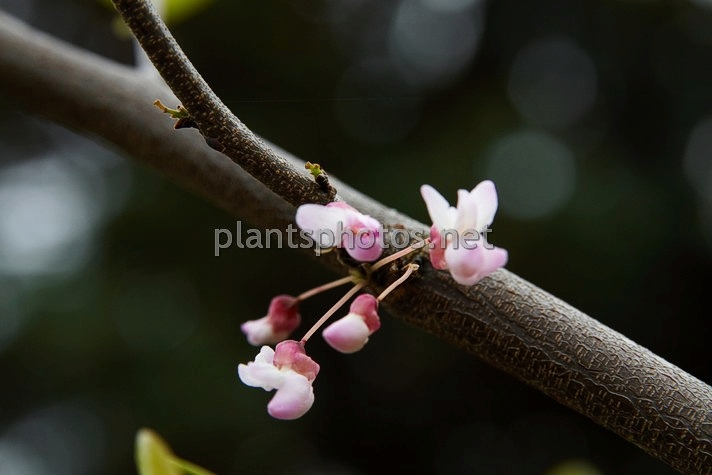 Cercis occidentalis IMG_2348 &polska