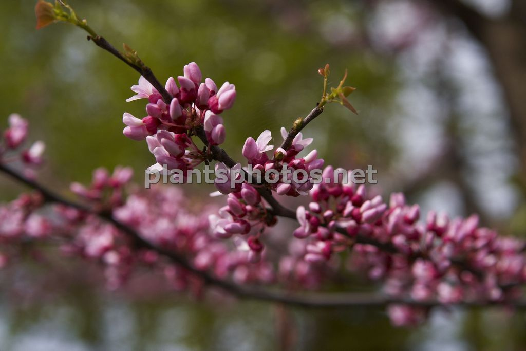 Cercis occidentalis-1 &polska