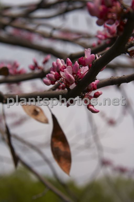 Cercis occidentalis-2 &polska