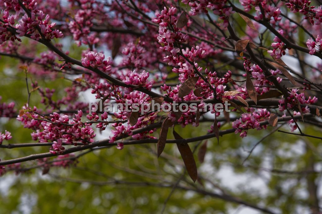 Cercis occidentalis-3 &polska