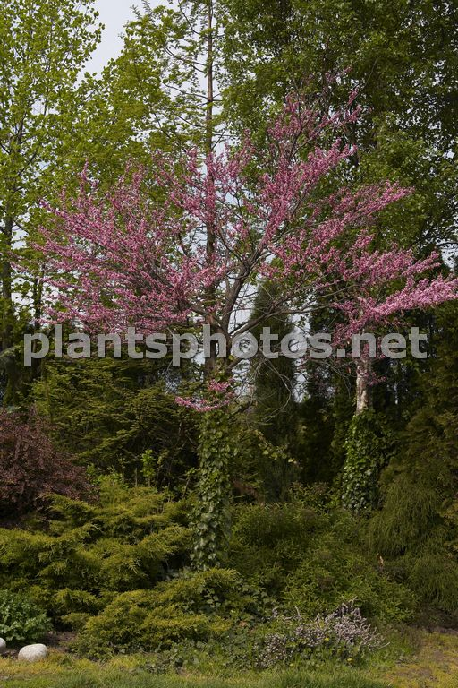 Cercis occidentalis &polska