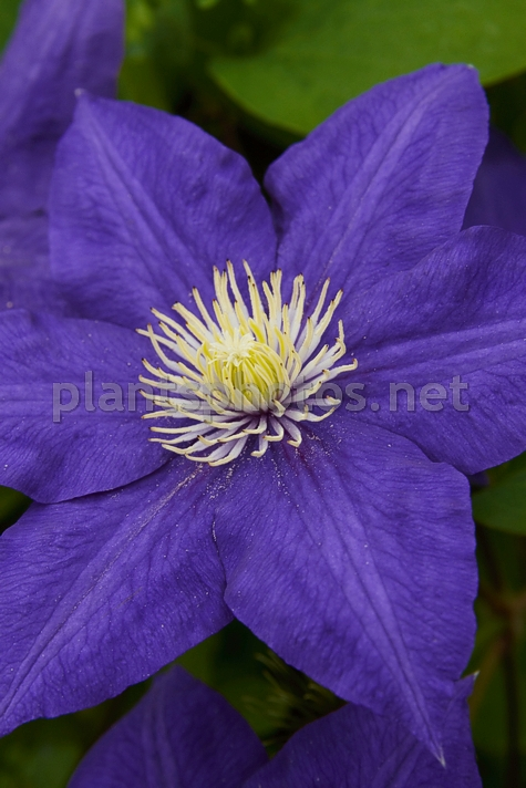 Clematis Beauty of Worcester IMG_4321, Powojnik, *
