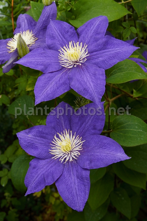 Clematis Beauty of Worcester IMG_4322, Powojnik, *