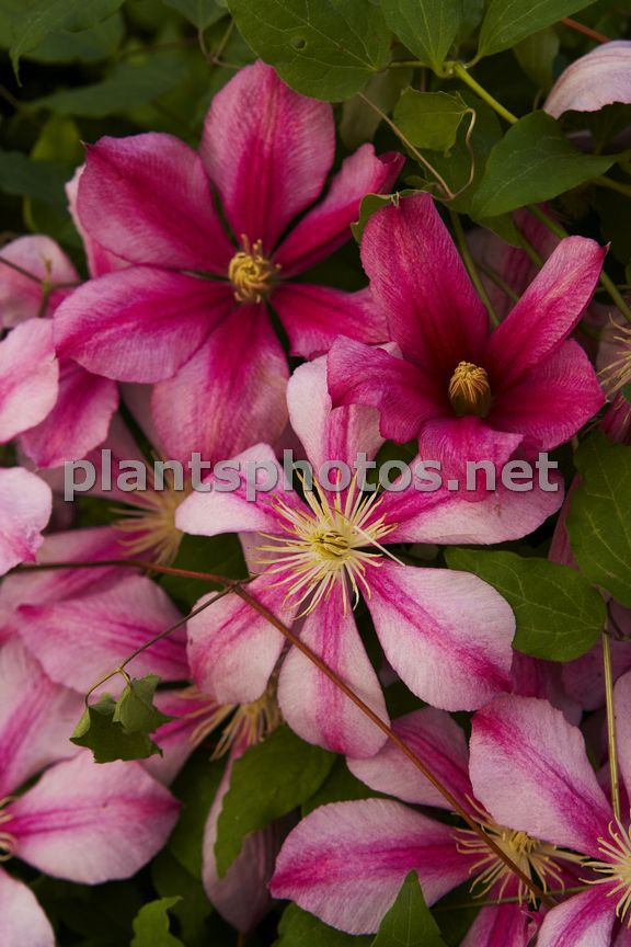 Clematis Betty Risdon IMG_5933, Powojnik,