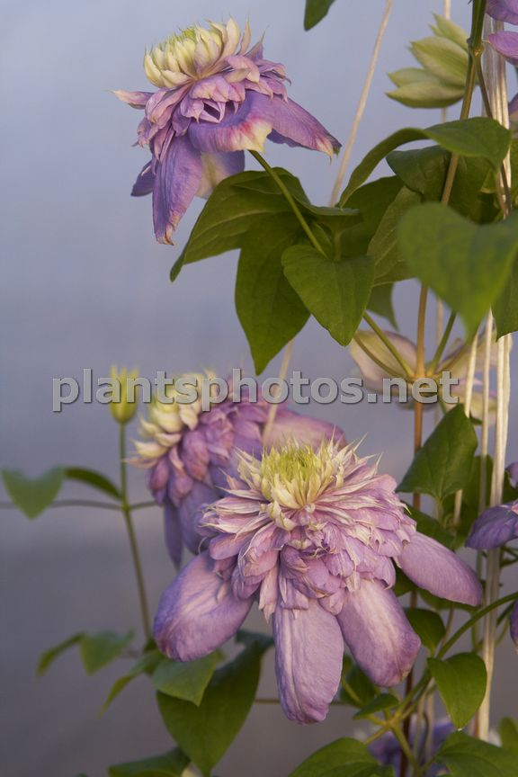 Clematis Blue Light-1, Powojnik,