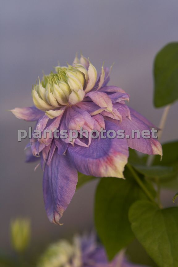 Clematis Blue Light-2 &polska