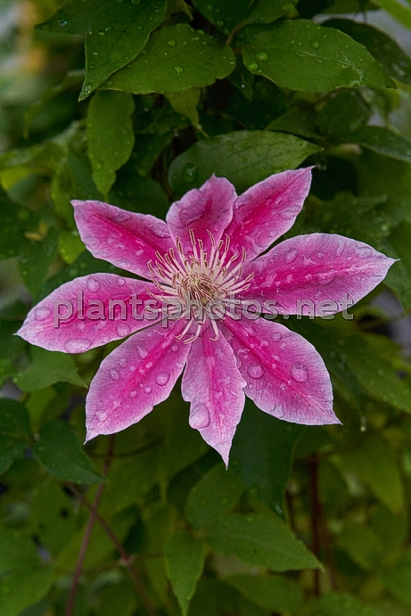 Clematis Boskoop Beauty IMG_6574 &polska