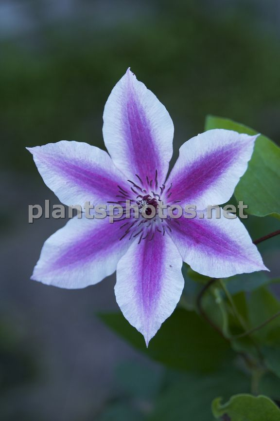 Clematis Carnaby-1 &polska