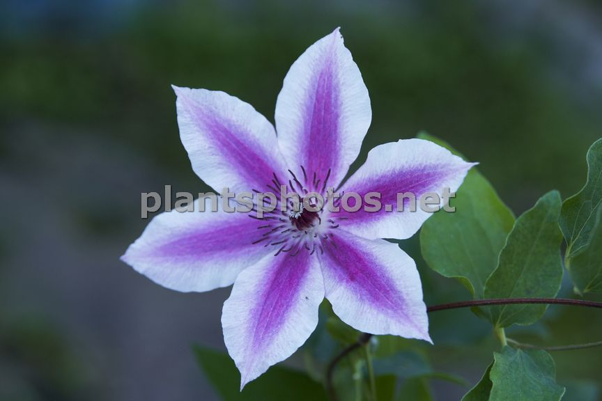 Clematis Carnaby &polska