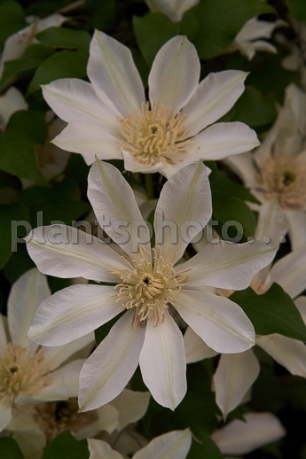 Clematis Moonlight IMG_5964 &polska