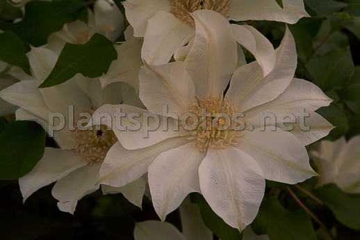 Clematis Moonlight IMG_5979 &polska