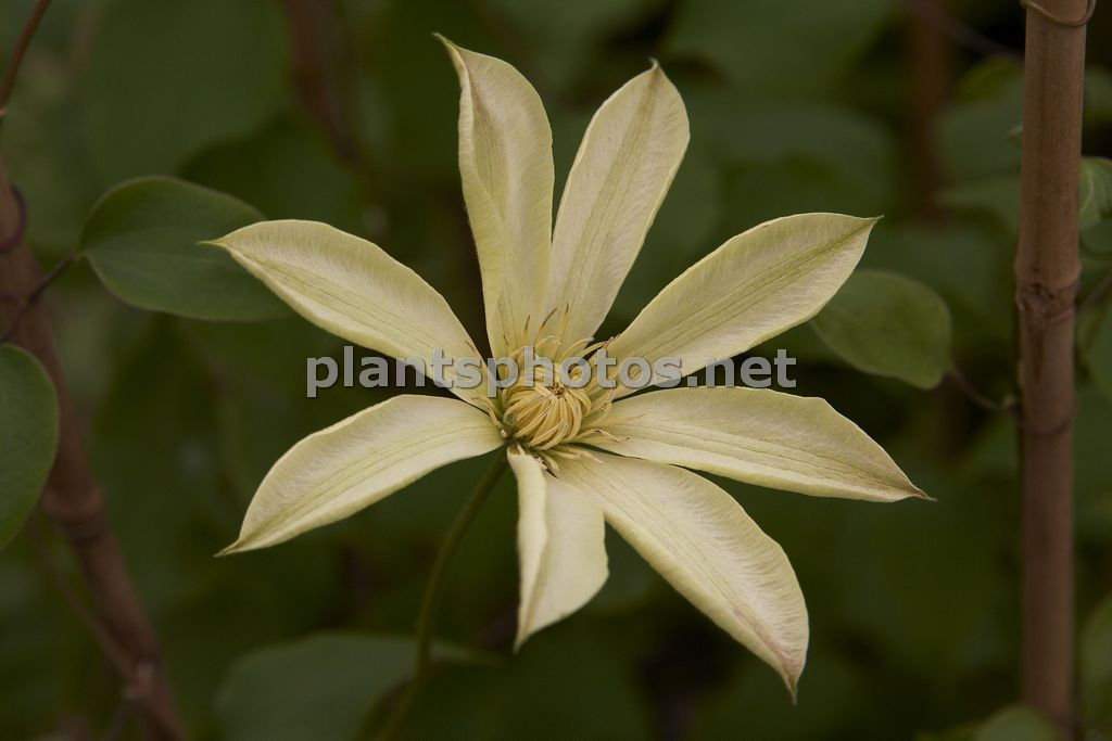 Clematis Moonlight-1, Powojnik,