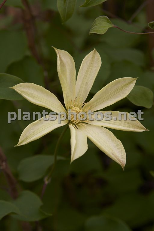 Clematis Moonlight-2, Powojnik,