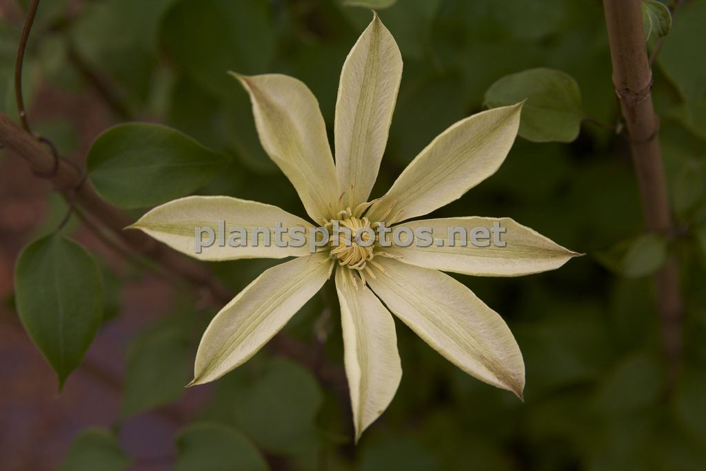 Clematis Moonlight-3, Powojnik,
