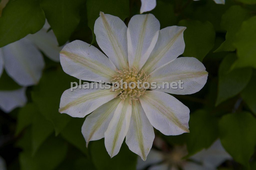 Clematis Moonlight-4, Powojnik,