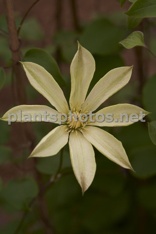 Clematis Moonlight, Powojnik,