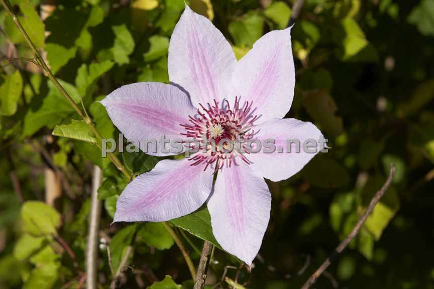 Clematis Nelly Moser-1, Powojnik,