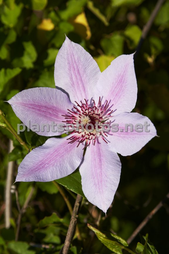 Clematis Nelly Moser-2, Powojnik,