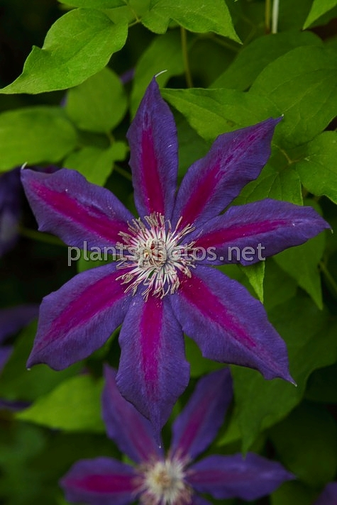 Clematis Wildfire IMG_2462 &polska