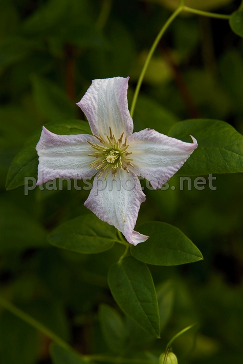 Clematis viticella Little Nell IMG_4454, Powojnik, *