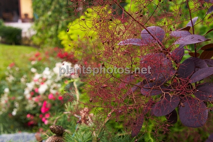 Cotinus coggygria Royal Purple IMG_0605 &polska