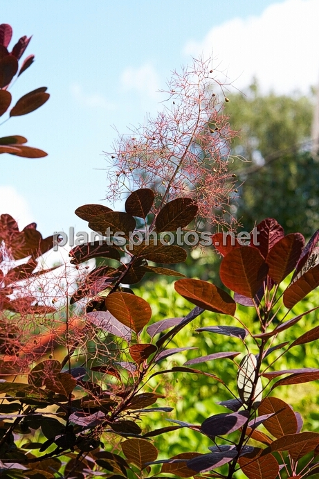 Cotinus coggygria Royal Purple IMG_0745 &polska