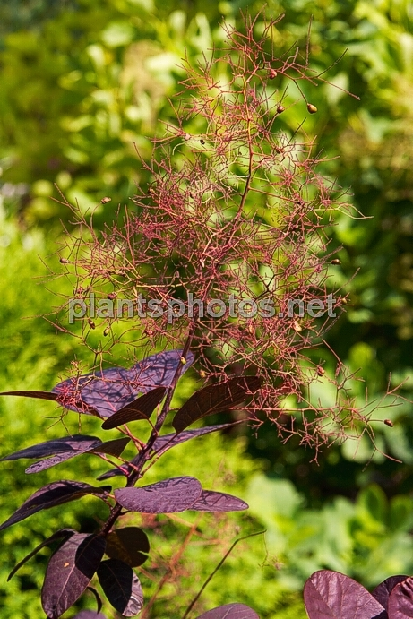 Cotinus coggygria Royal Purple IMG_0746 &polska