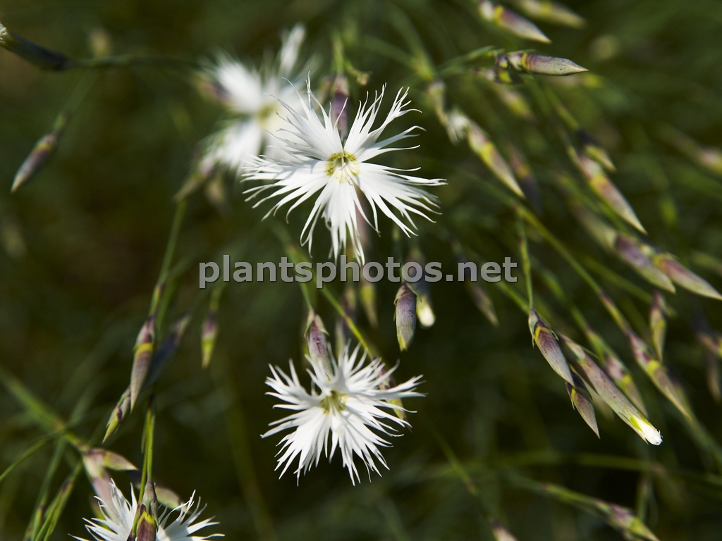 Dianthus-1 &polska