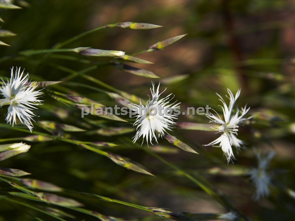 Dianthus-2 &polska