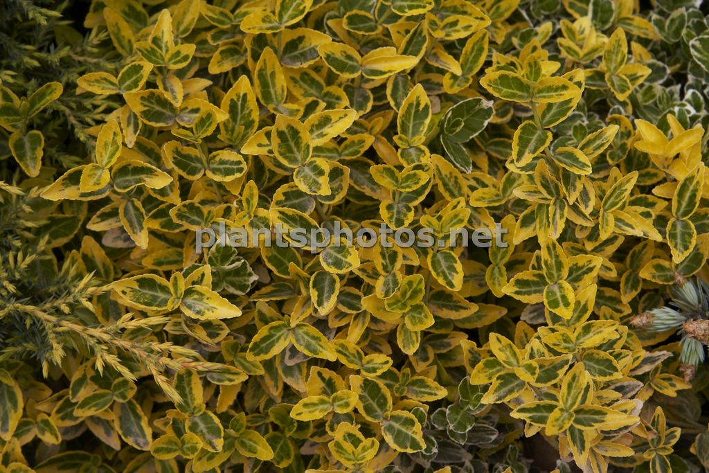 Euonymus fortunei Emerald n Gold, Trzmielina Fortunea,