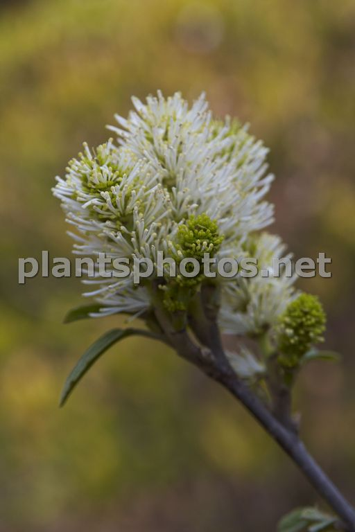 Fothergilla major-1 &polska