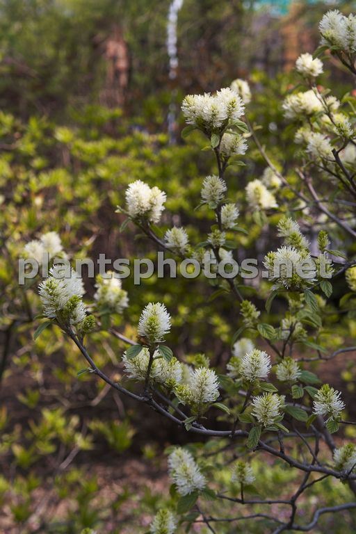Fothergilla major-2 &polska