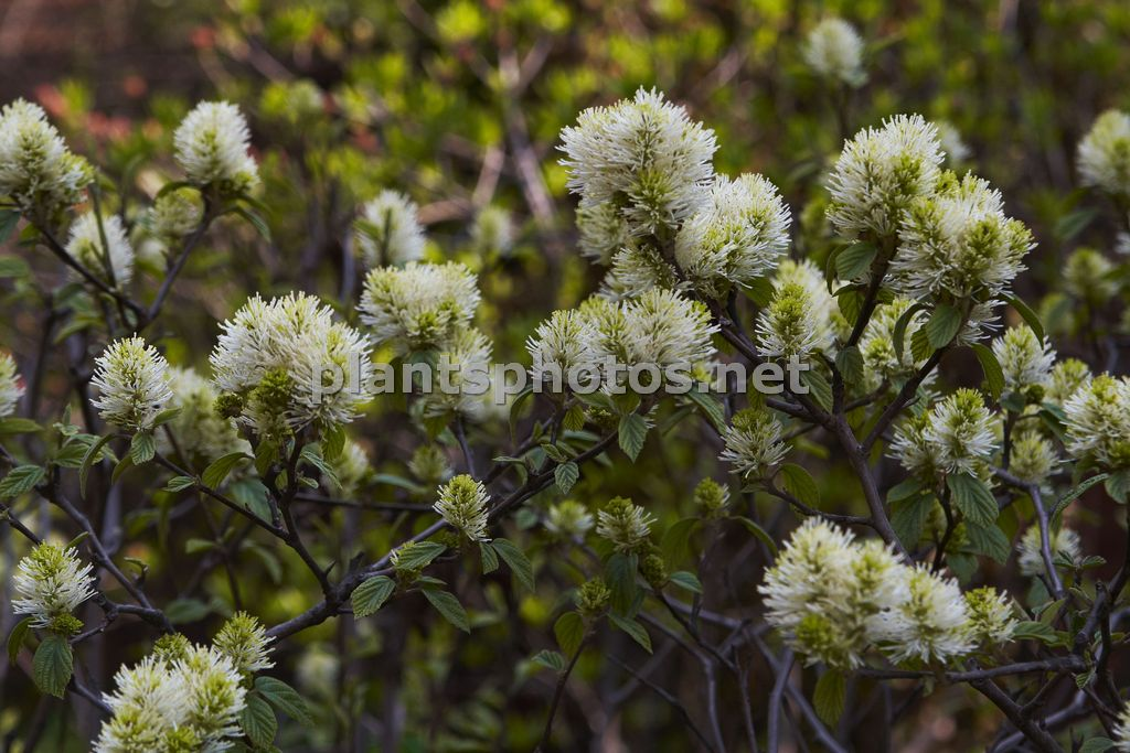 Fothergilla major-3 &polska