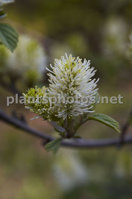 Fothergilla major &polska