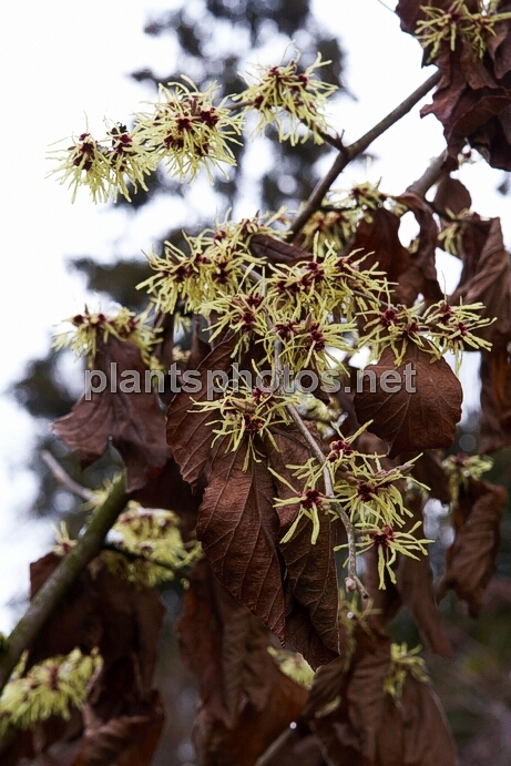 Hamamelis x intermedia Moonlight IMG_8964 &polska